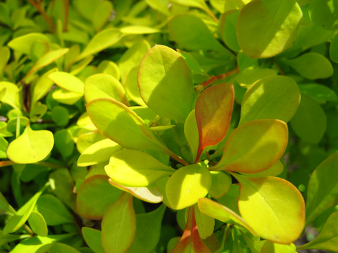 Adding some brilliance with yellow-green foliage to a shady spot in the garden.