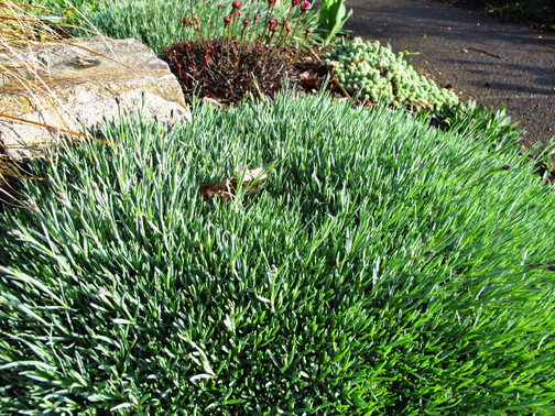 using ground cover to accent a tree or rock