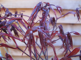soft new growth from the beginnings of a burgandy leafed Japanese Maple
