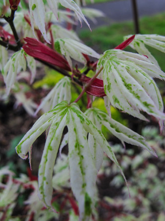 ghost of a maple, called 'Ukigumo' or 'Floating Cloud', seemingly delicate, though a particularly hardy and tough variety