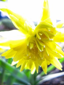 dwarf daffodil with pom-pom like flowers