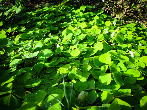 a native ground cover