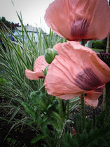 Perennial poppies add such softness to the spring when the hail, rain, and sun all converge as one in a day.