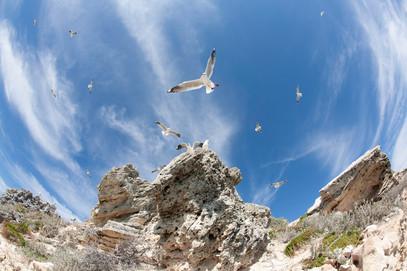 Seagulls Nesting Parker Point