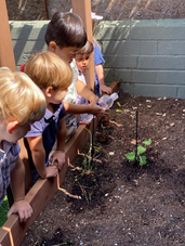 Growing our veggies