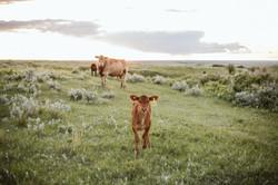 Saskatchewan Cattle