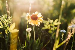 Saskatchewan Wildflower