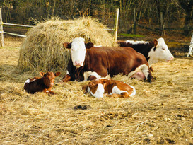 mother cow and baby.jpg