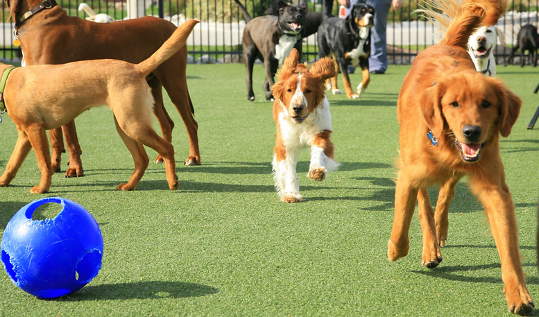 Group of dogs playing in an outdoor enclosure at a dog boarding kennel in Amesbuty, Massachusetts