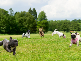 Dogs playing in a field.png