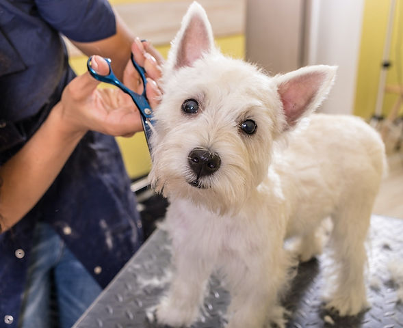 West Highland White Terrier being groomed