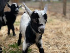baby goat_edited.jpg