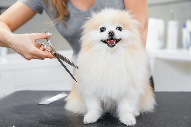 Dog being clipped at the groomers.jpg