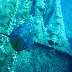 Grouper on the Zenobia
