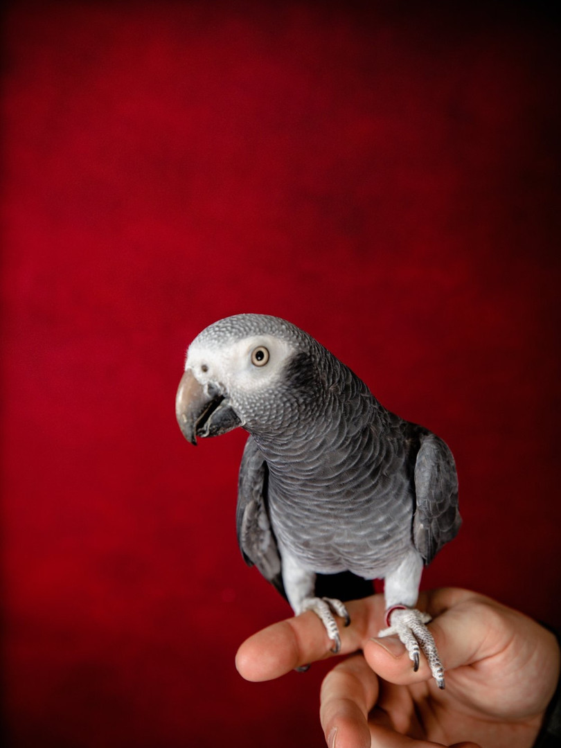 Timneh african grey parrot in front of a red background