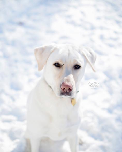 White lab sitting on snow
