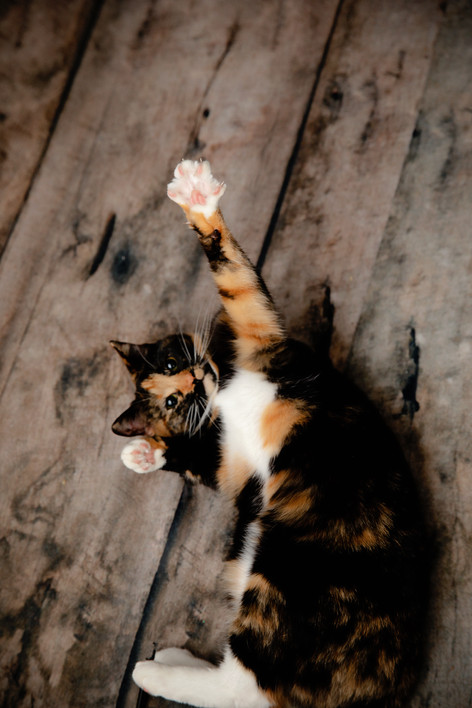 calico cat laying on wood floor pet portrait
