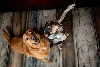 Red lab and fox terrier looking for a treat