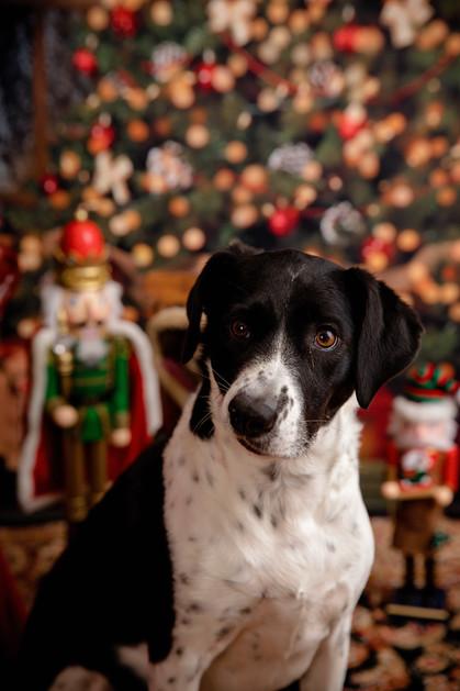 pet portrait dog christmas scene