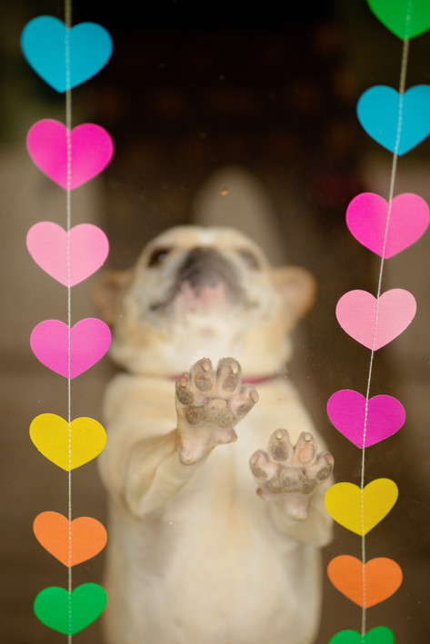 Pug leaning against glass with strings of hearts