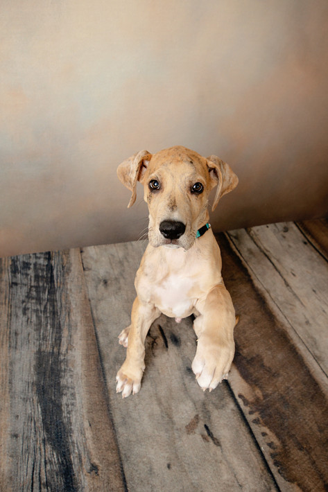 Fawn great dane puppy sitting and holding out his paw