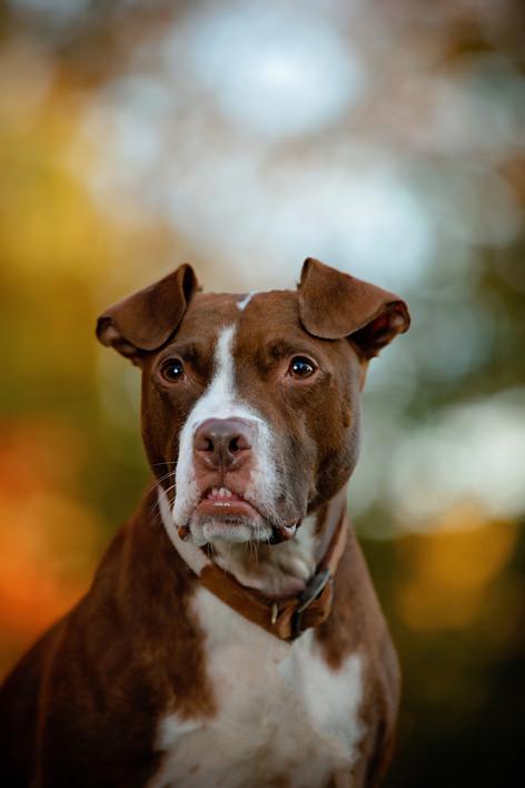 pet portrait brown dog with bokeh