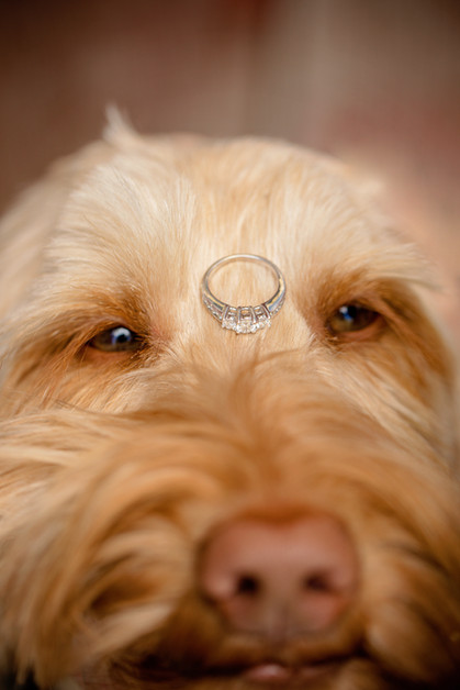 Pet portrait tan dog with engagement ring