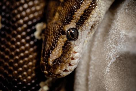 Pet portrait angolan python close up