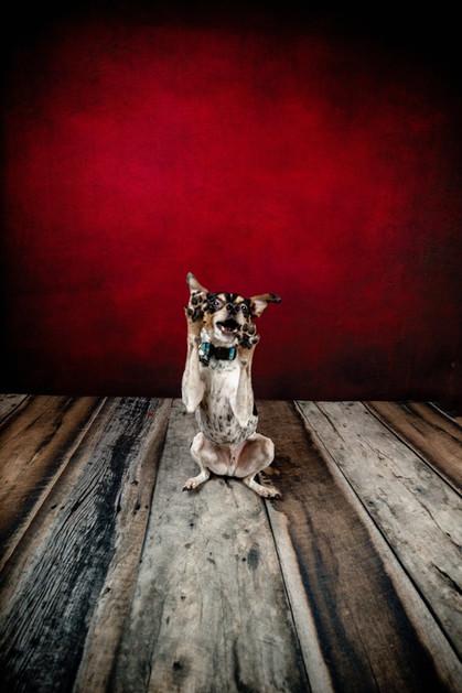 pet portrait Fox terrier catching a treat