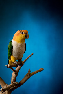 caique perched on a branch with a blue background