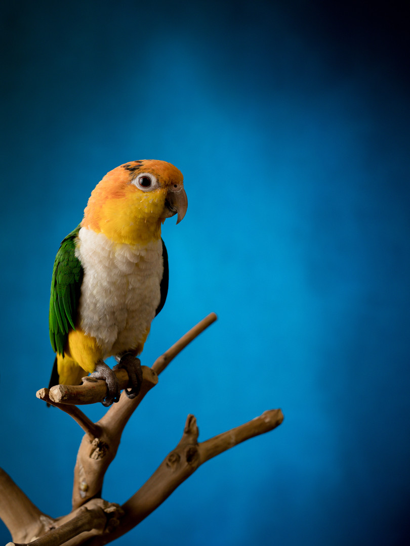 caique perched on a branch in front of a blue background