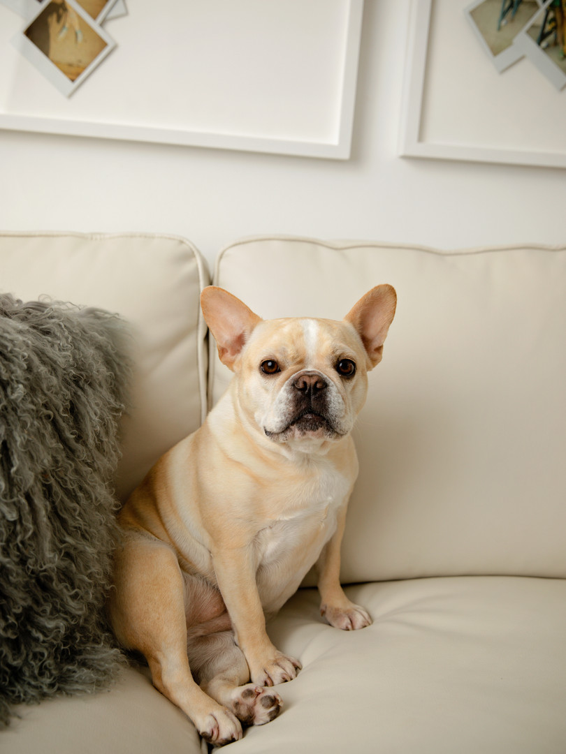 Tan pug sitting on a cream leather couch
