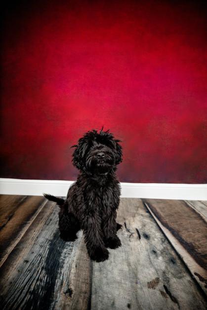 Black dog sitting on a wood floor