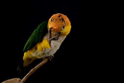 Caique scratching her face with a black background