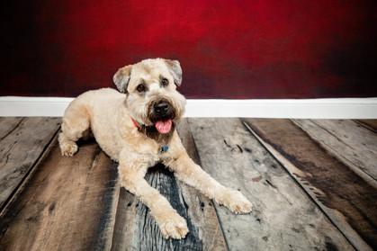 wheaten terrier laying on wood floor