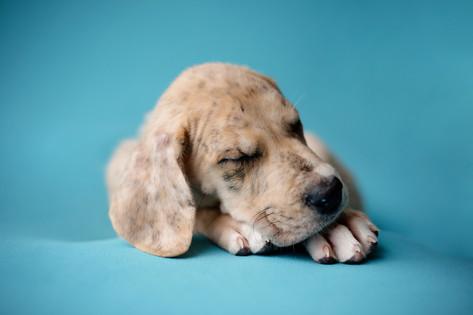 Fawn great dane puppy sleeping on a blue blanket