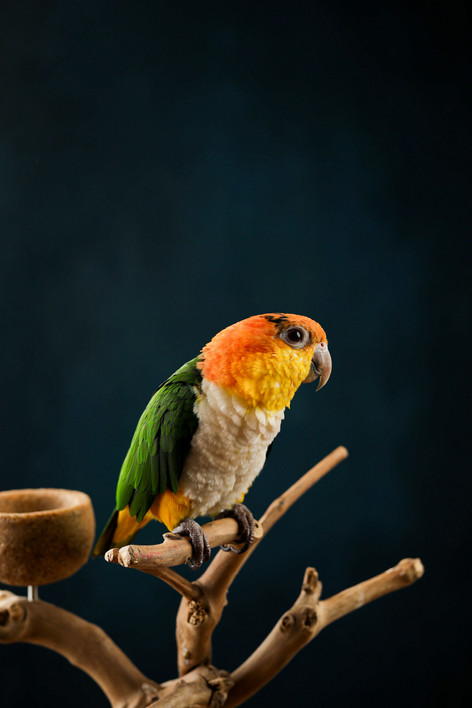 Caique perched on a branch with a black background