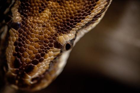 pet portrait Angolan Python up close of head and eye