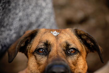 Brown dog with an engagement ring