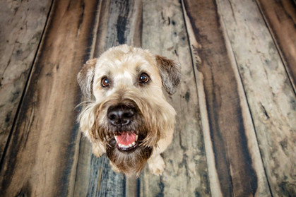 wheaten terrier on wood floor looking up at the camera