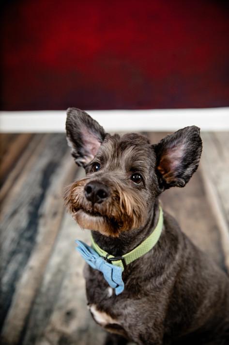 pet portrait dog wearing a bowtie