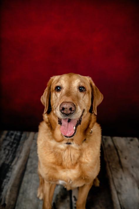 Red lab pet portrait