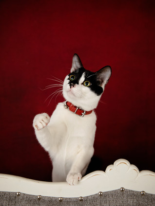 Black and white cat in red collar waving his paw with a red background-49_351.jpeg