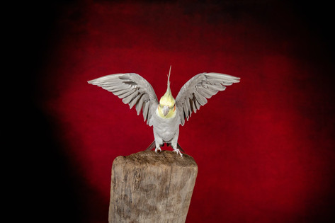 Cockatiel perched on wood with wings spread with a red background