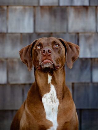 Brown dog pet portrait in front of wood siding