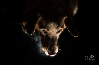 Red lab with his head hanging down with dramatic lighting