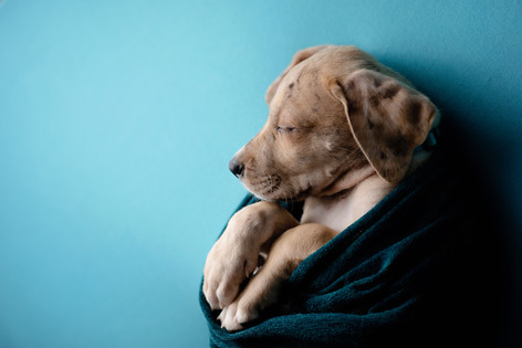 Fawn great dane puppy sleeping on a blue blanket wrapped in a green blanket