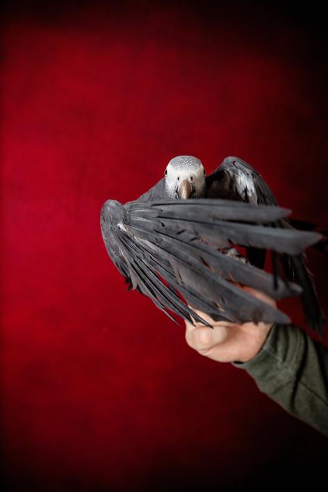 Timneh african grey parrot pet portrait