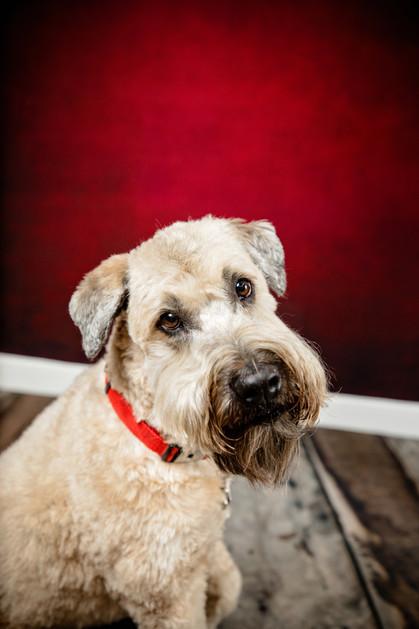 Wheaten terrier pet portrait