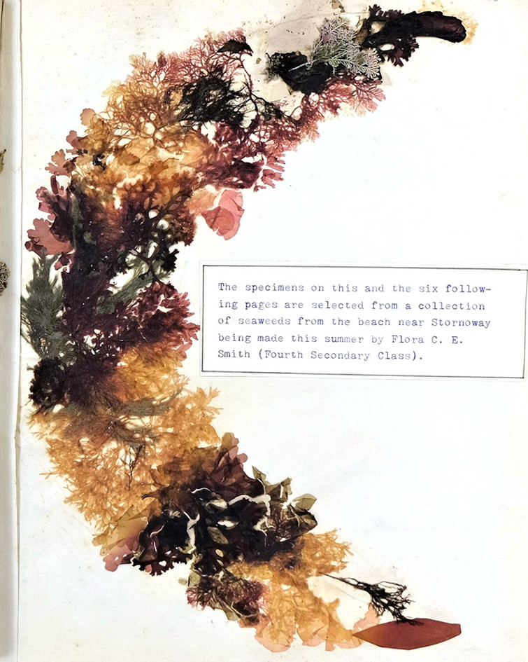 Seaweed specimen collected by Nicolson Institute pupil Flora Smith, from 1904 Exhibition Album